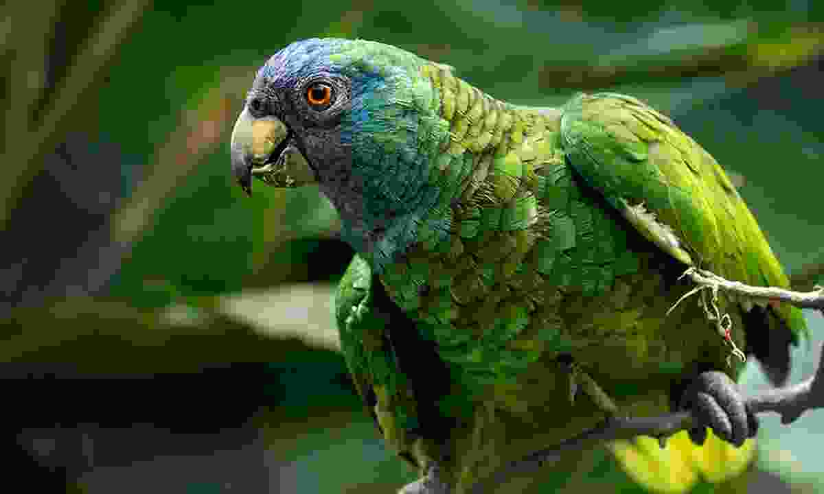Many colourful birds can be spotted in Dominica, including the Amazona Arauisiaca