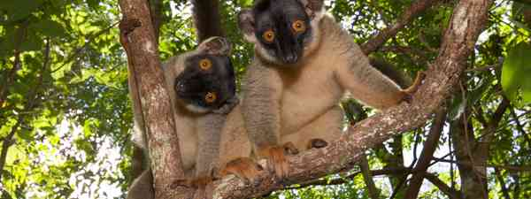 Brown lemurs in Madagascar (T Steffens)