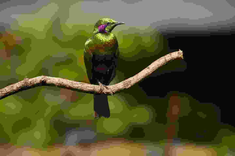 Emerald starling in Sierra Leone (Shutterstock)