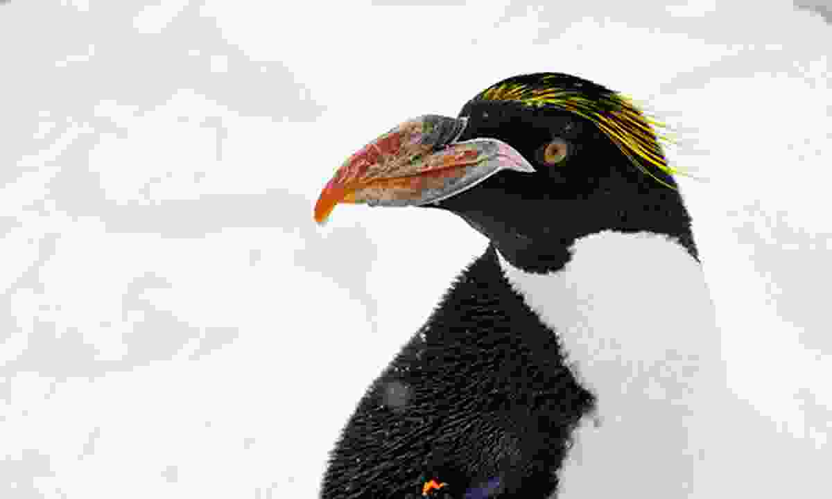 Macaroni penguins are one of only a handful of species equipped with impressive yellow crests (Dreamstime)