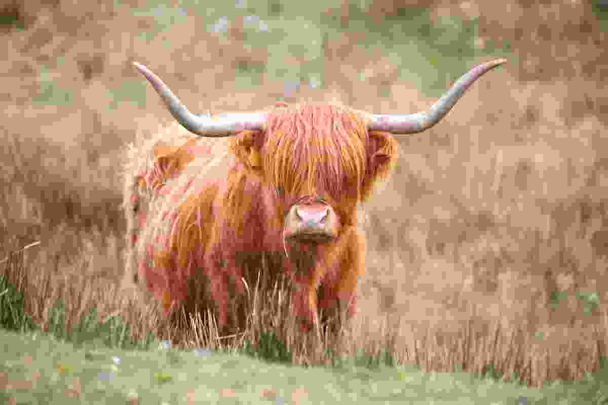 Highland Cow with 'unmanageable' fringe (Graeme Green)