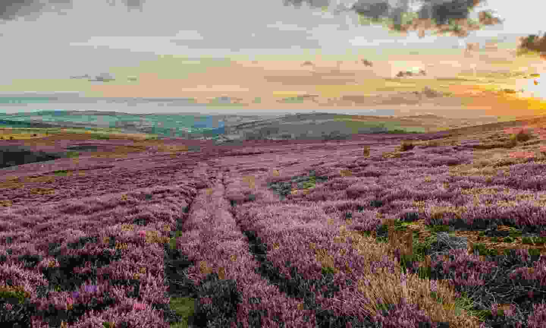 A heather field nearby Hayfield (Shutterstock)