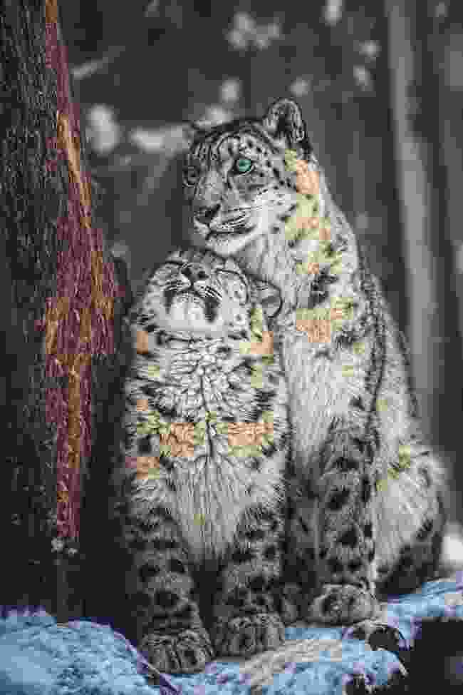 A snow leopardess with a cub (Shutterstock)