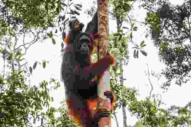 Orang-utans at Tanjung Puting NP (Love & Road)