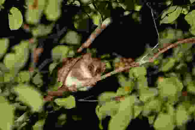 The grey mouse lemur (T Steffens)