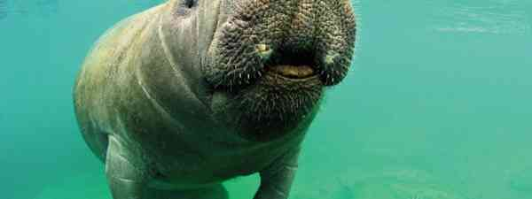 Manatees are among the friendliest animals on earth (Mark Carwardine)