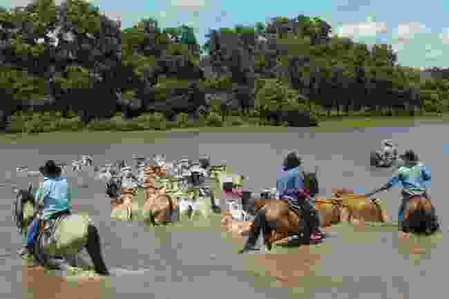 Llaneros herd cattle through water in Orinoquía (Shafik Meghji)
