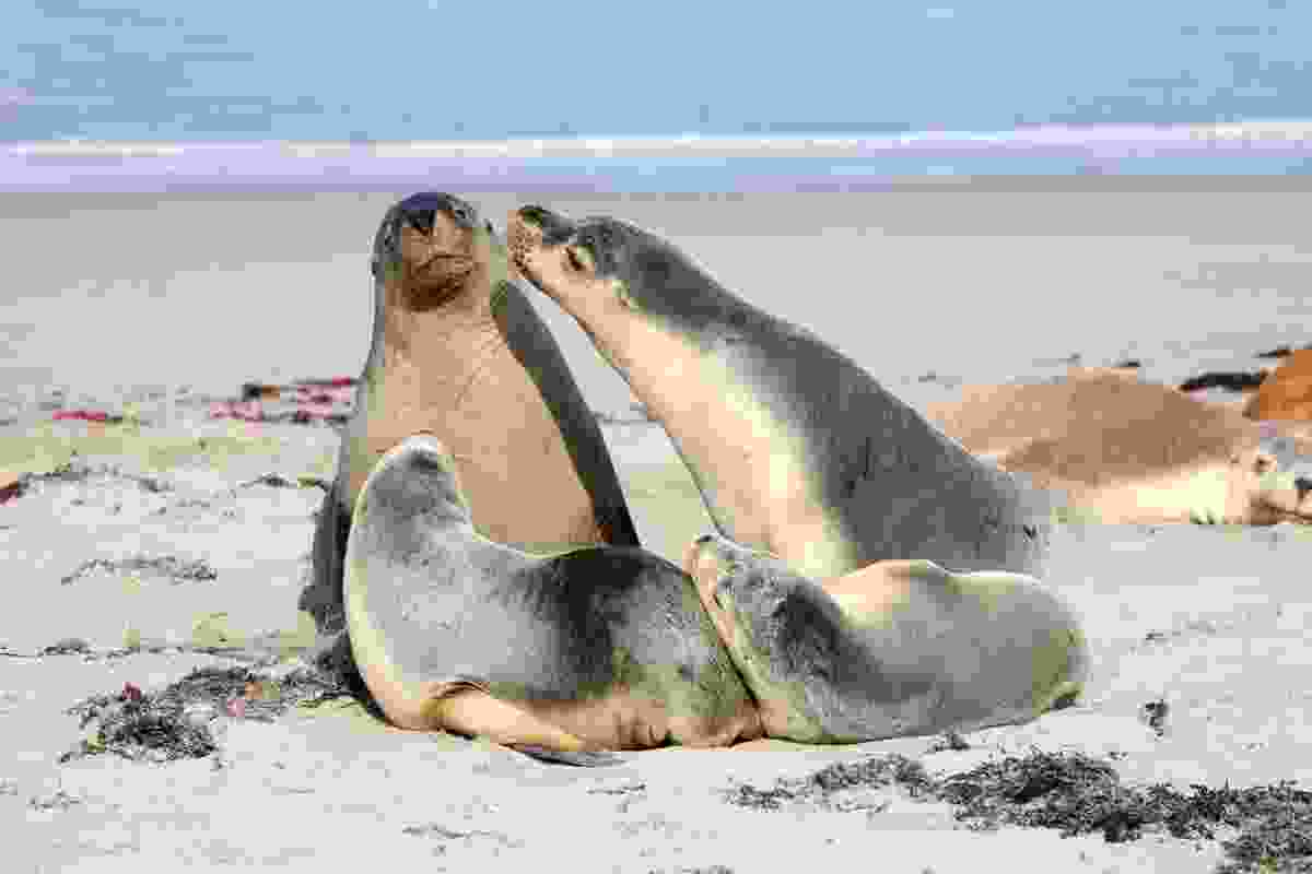 Seals in Seal Bay on Kangaroo Island (Dreamstime)