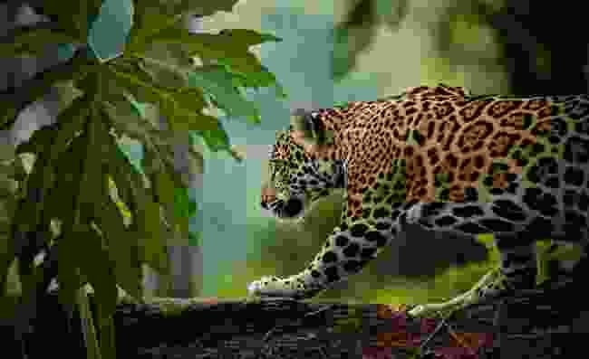 Spot jaguars in the wild in Belize (Shutterstock)