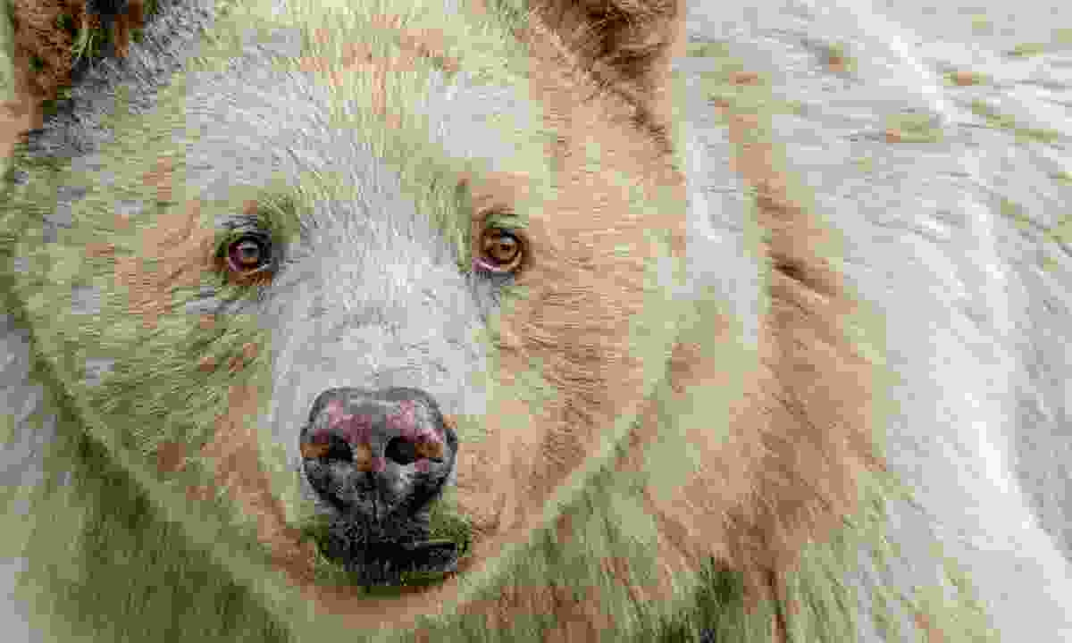 The rare Spirit Bear (Destination British Columbia)