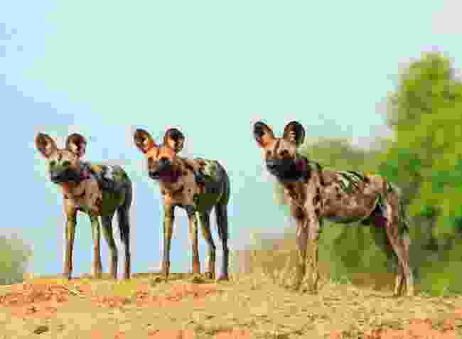 3 African wild dogs in South Luangwa National Park, Zambia