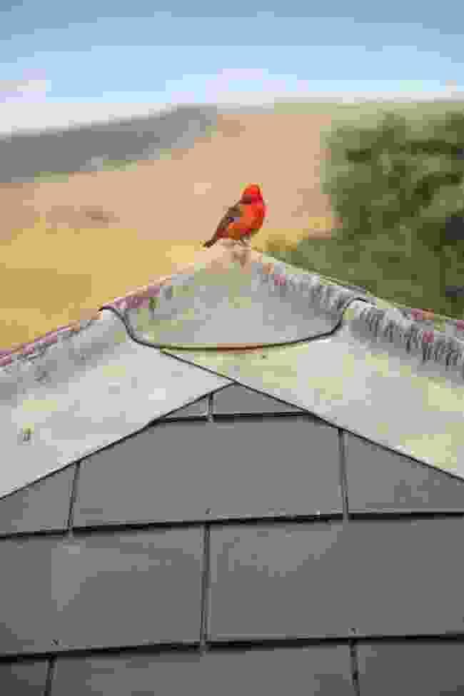 A Madagascar fody perched on a rooftop (Lyn Hughes)