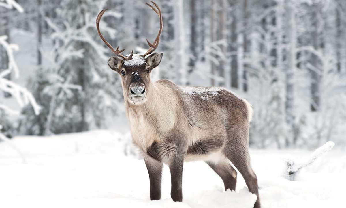 Reindeer (Dreamstime)