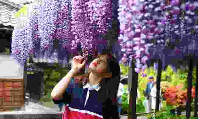 Admire the wisteria arbour (Niigata City Office)