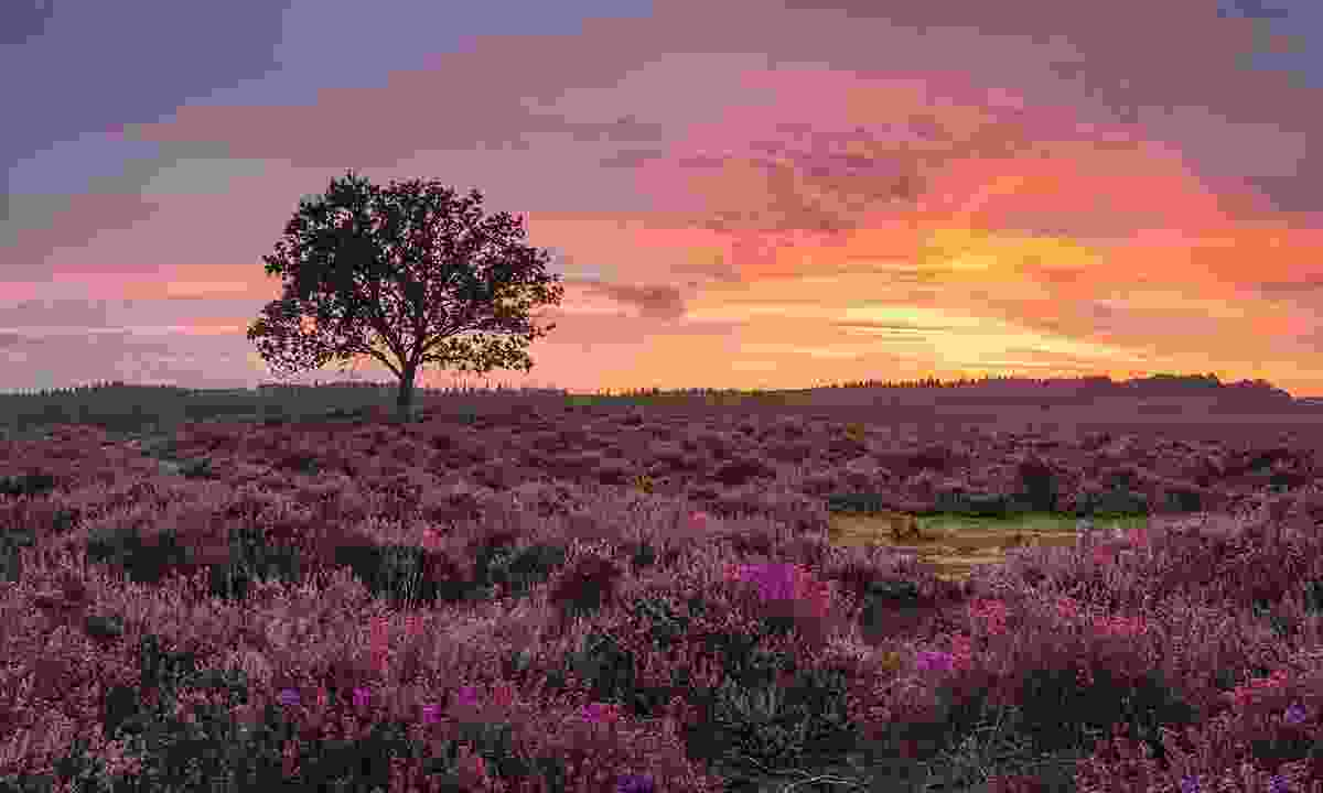 Lonely tree, New Forest (Matthew Pinner)