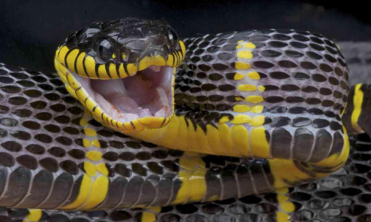 Attacking mangrove snake (Shutterstock)