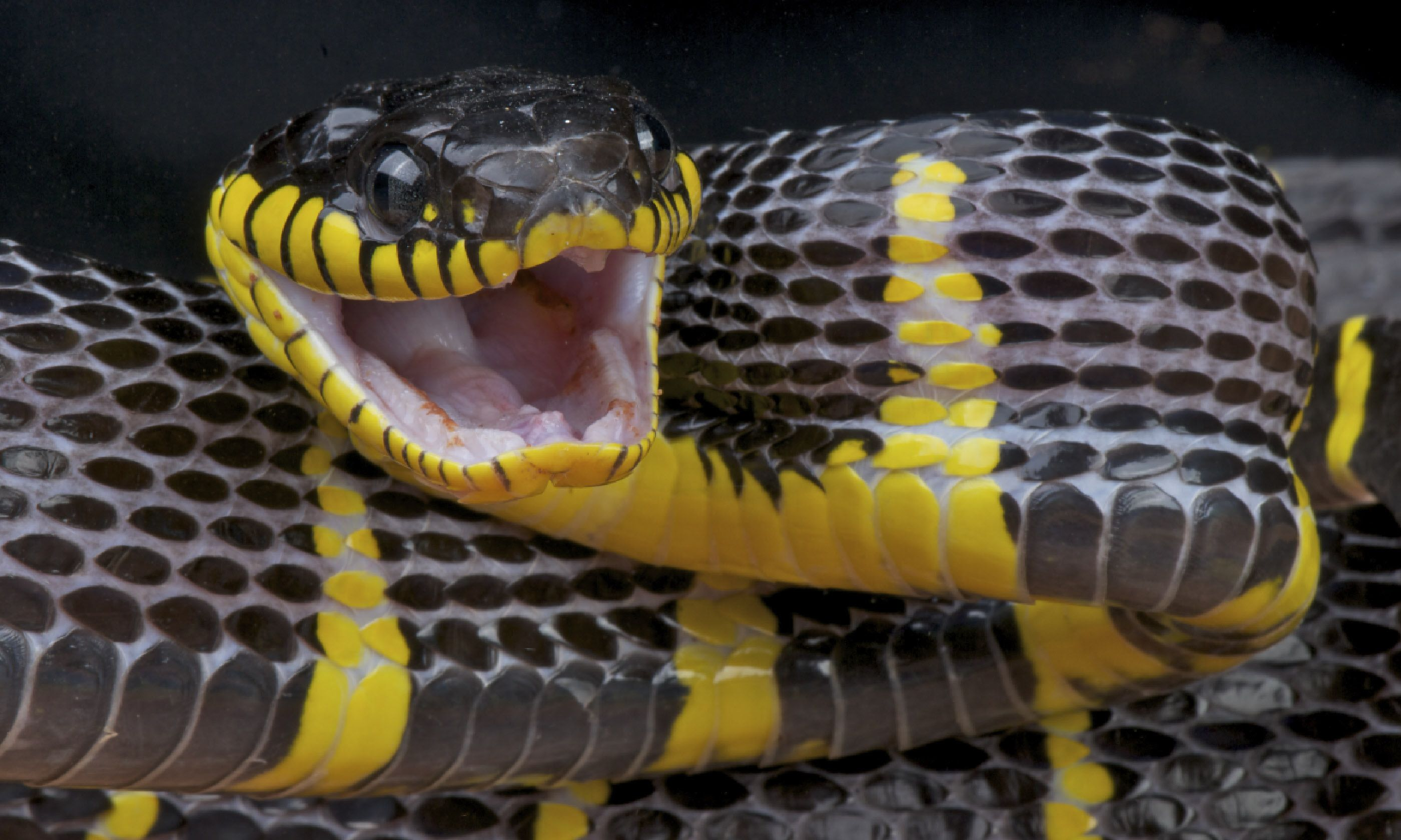 Attacking mangrove snake (Shutterstock)