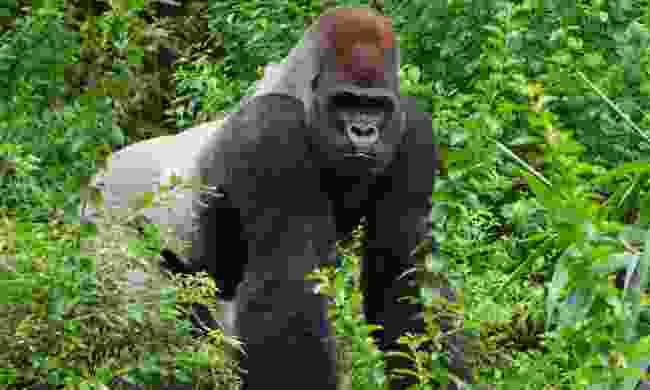 See gorillas in the wild (Shutterstock)