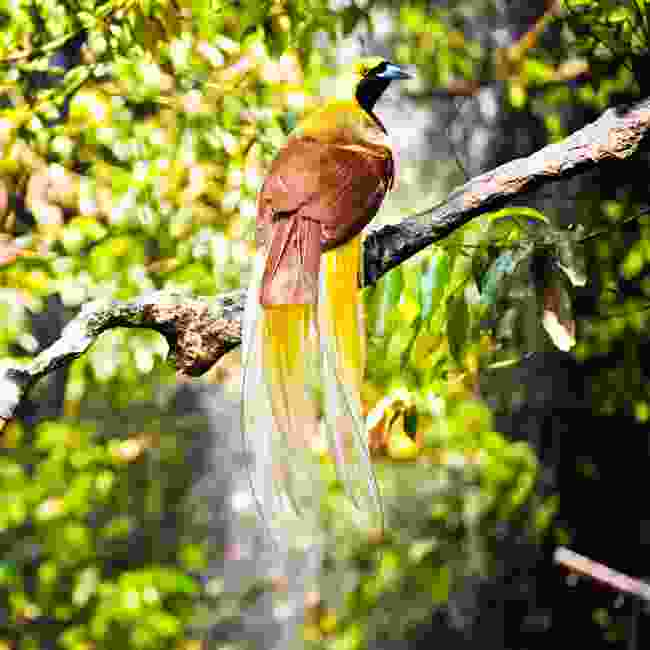 A bird of paradise found in Papua New Guinea (Shutterstock)