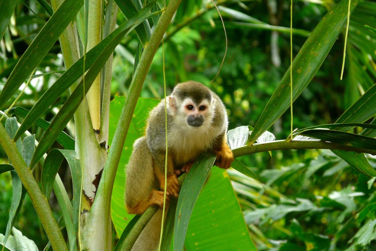Squirrel monkey in Manuel Antonio NP (Dreamstime)