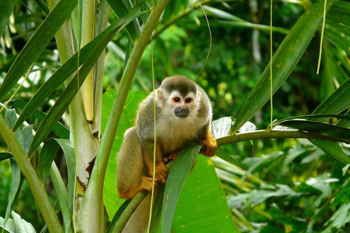 Squirrel monkey in Manuel Antonio NP (Dreamstime)