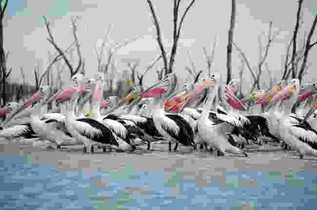 Pelican fly-in (© Mal Carnegie)