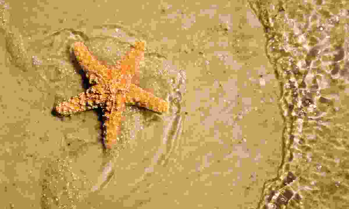 Spot giant starfish on Fort Myers' shores