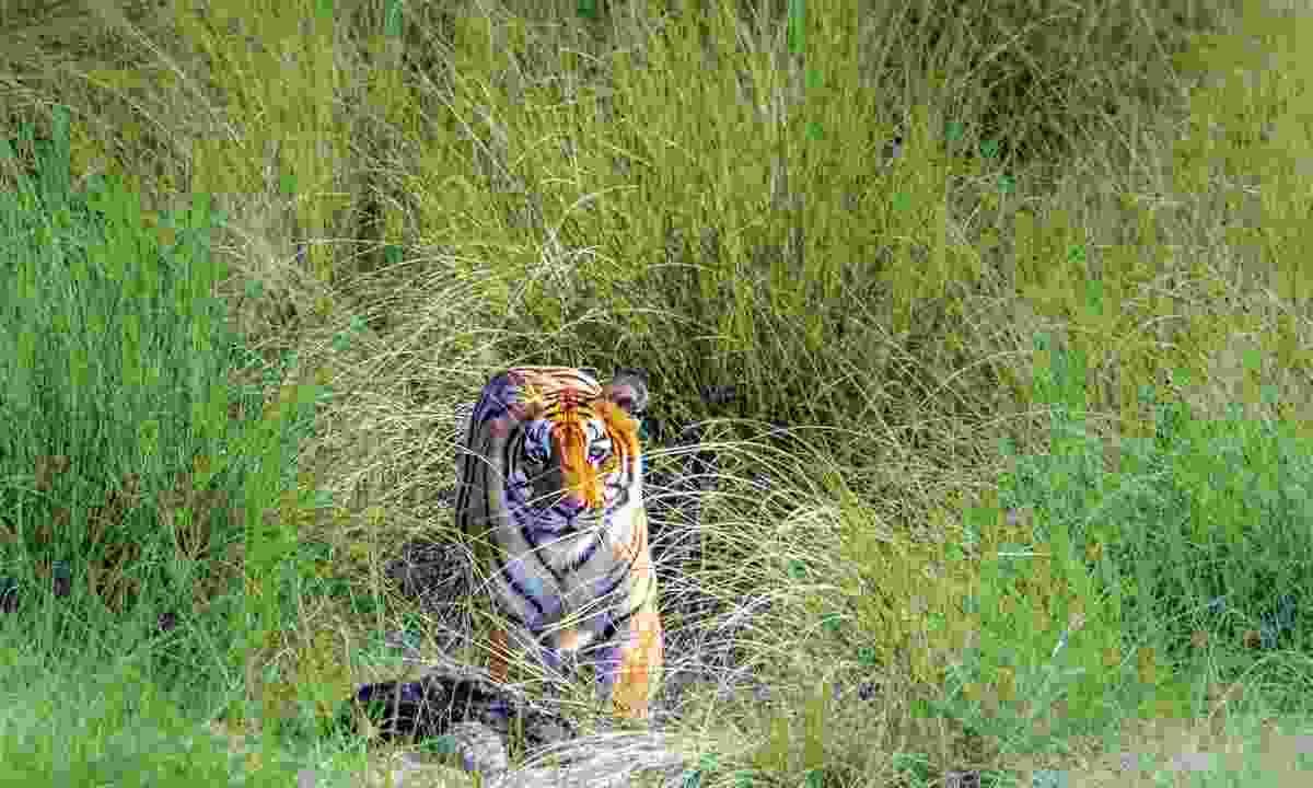 A tiger in Nepal (Shutterstock)