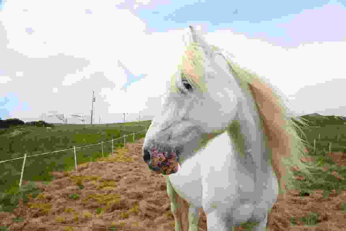 White horse in field near Luskentyre, South Harris (Graeme Green)