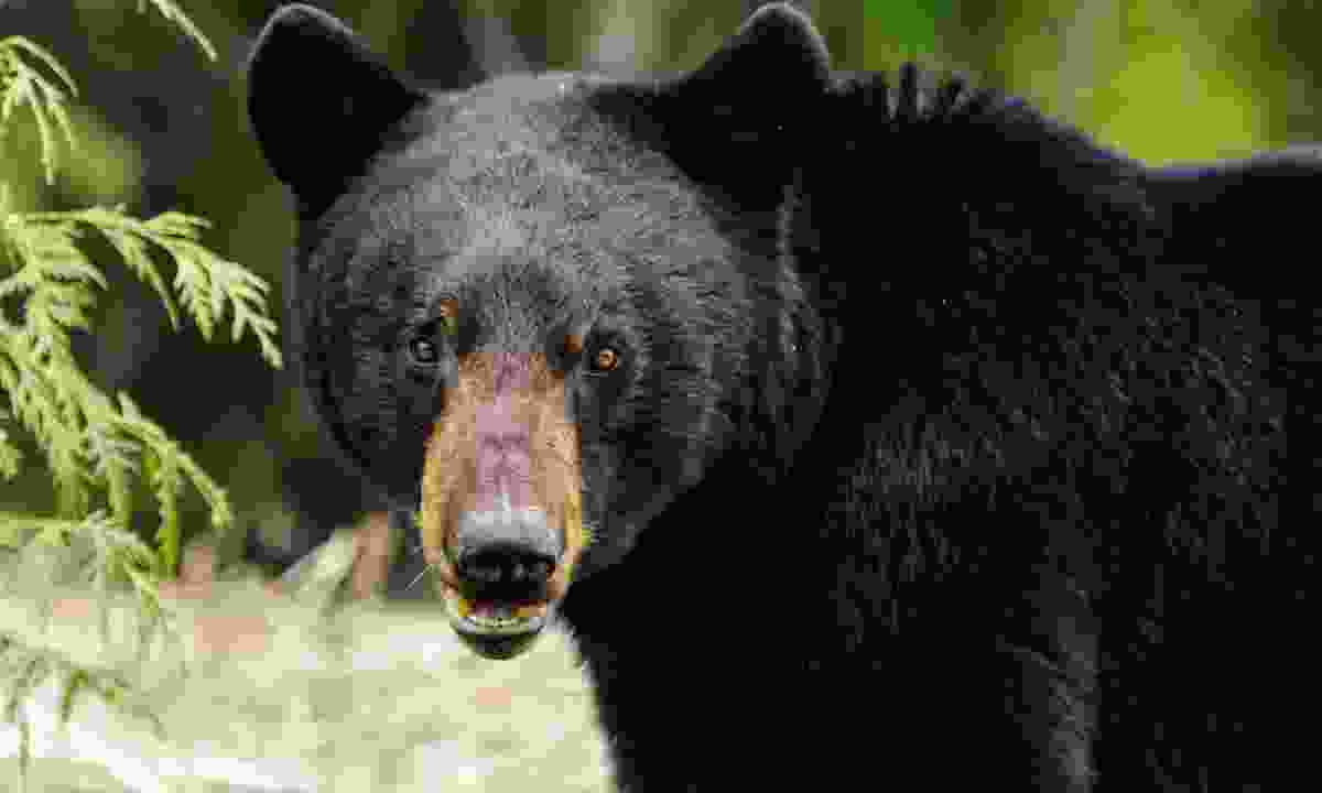 Black bear (Dreamstime)
