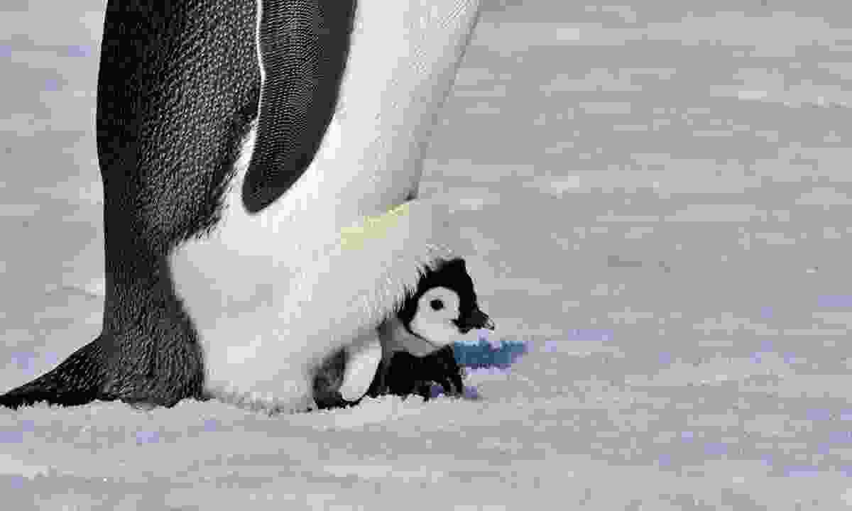 Emperor penguins incubate their chicks to keep them warm, while their partner forages for food (Dreamstime)