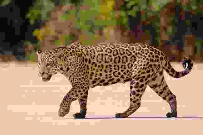 A jaguar roams the Pantanal (Dreamstime)