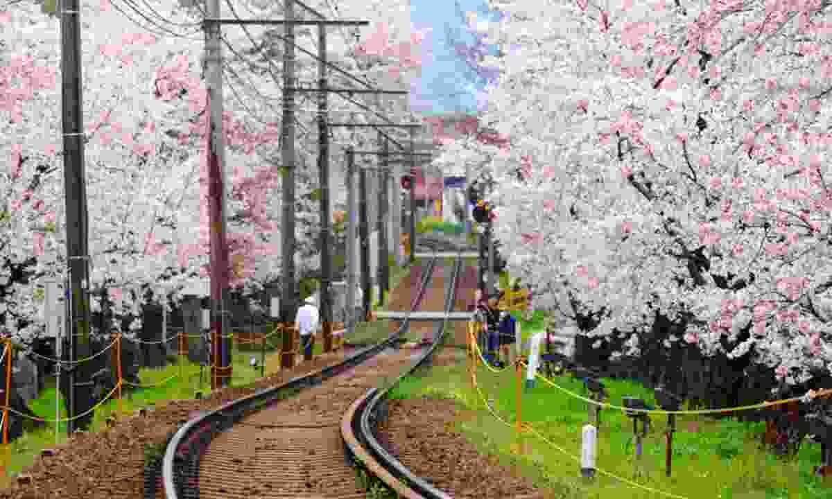 Railway with cherry blossom trees in Japan (Shutterstock)