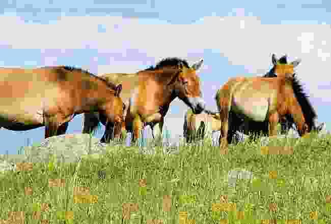 Przewalski horses at Khustain Nuruu National Park, Mongolia (Eternal Landscapes)
