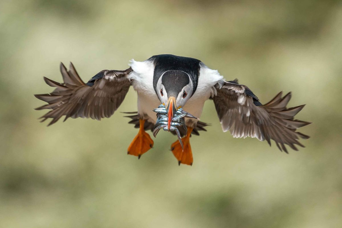 Puffin in flight (Richard Peters)