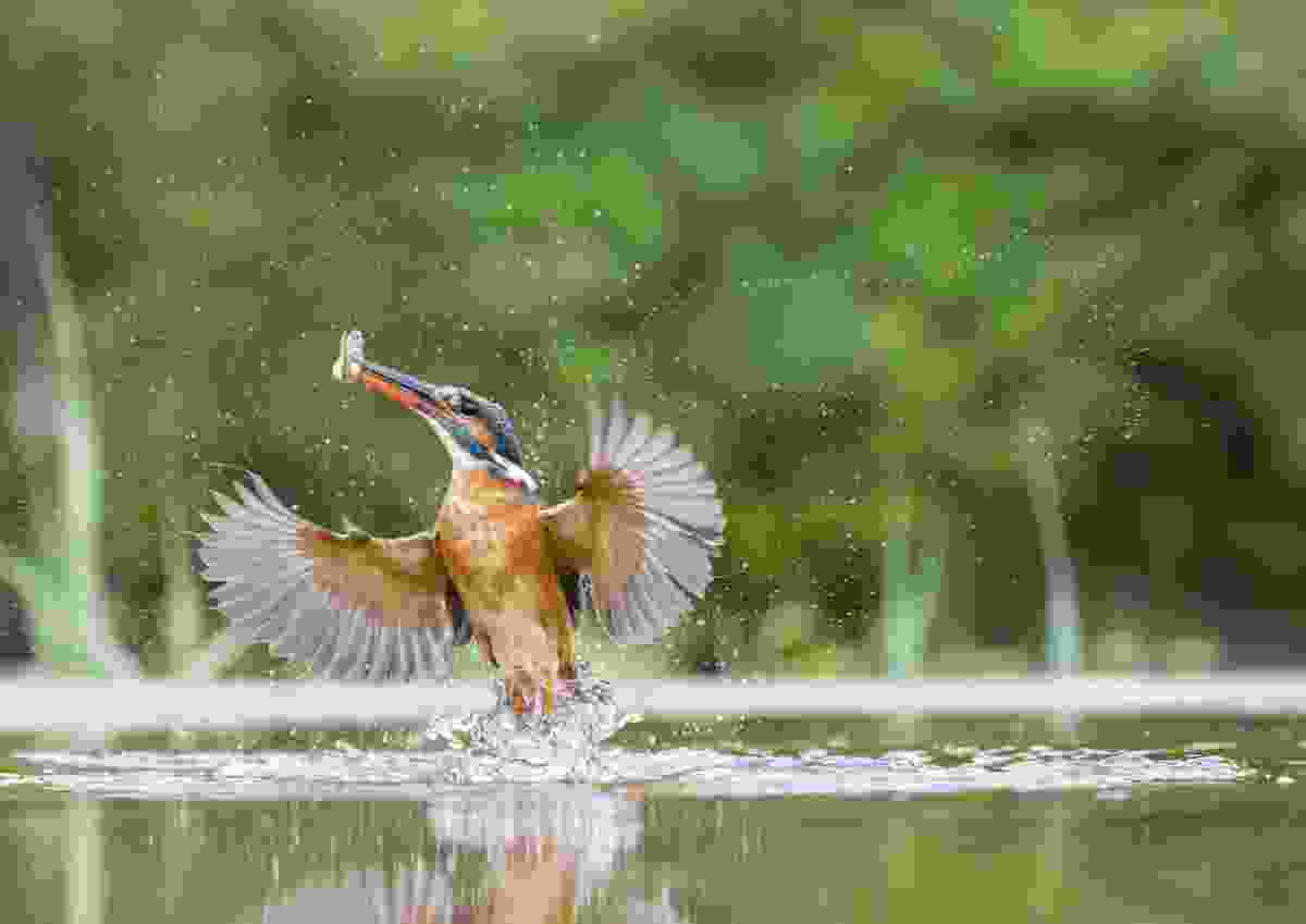 Commended: A kingfisher emerges from the river with a catch (Patrick O'Brien)