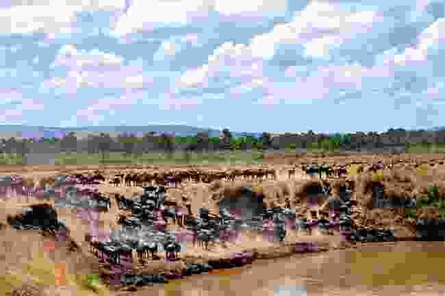 Wildebeest migration (Dreamstime)