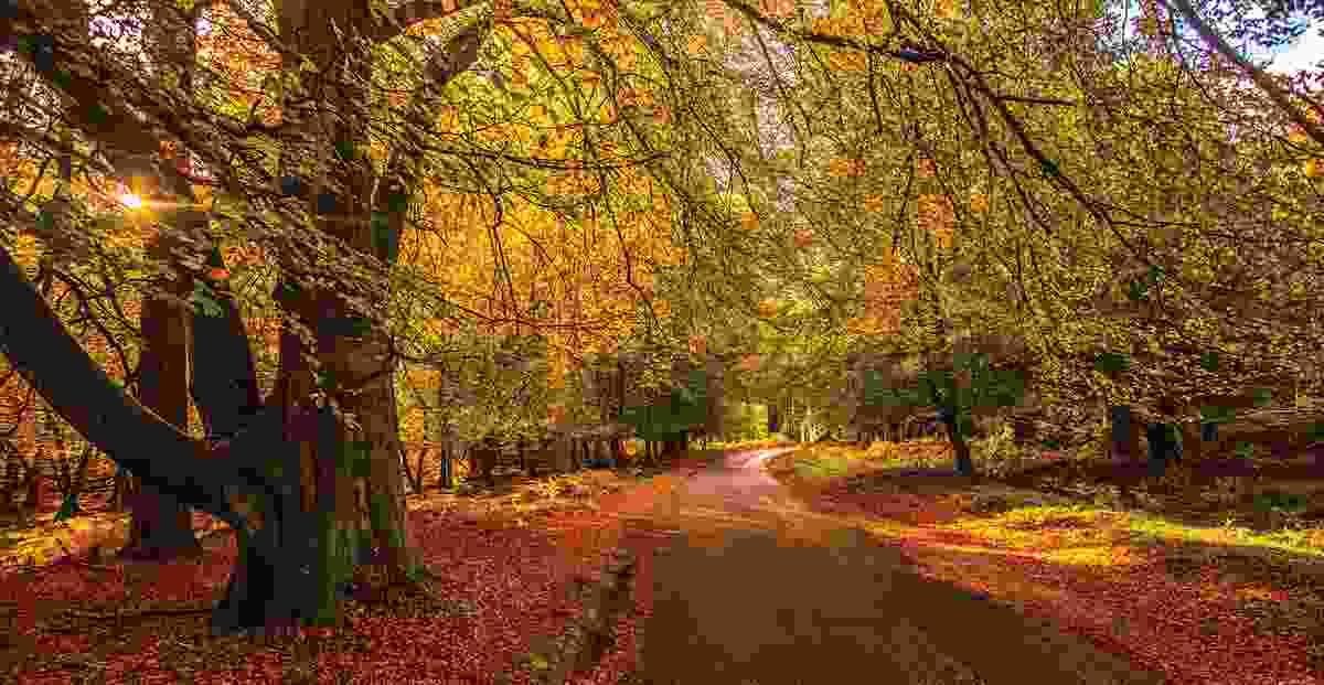 Bolderwood Forest (Matthew Pinner)