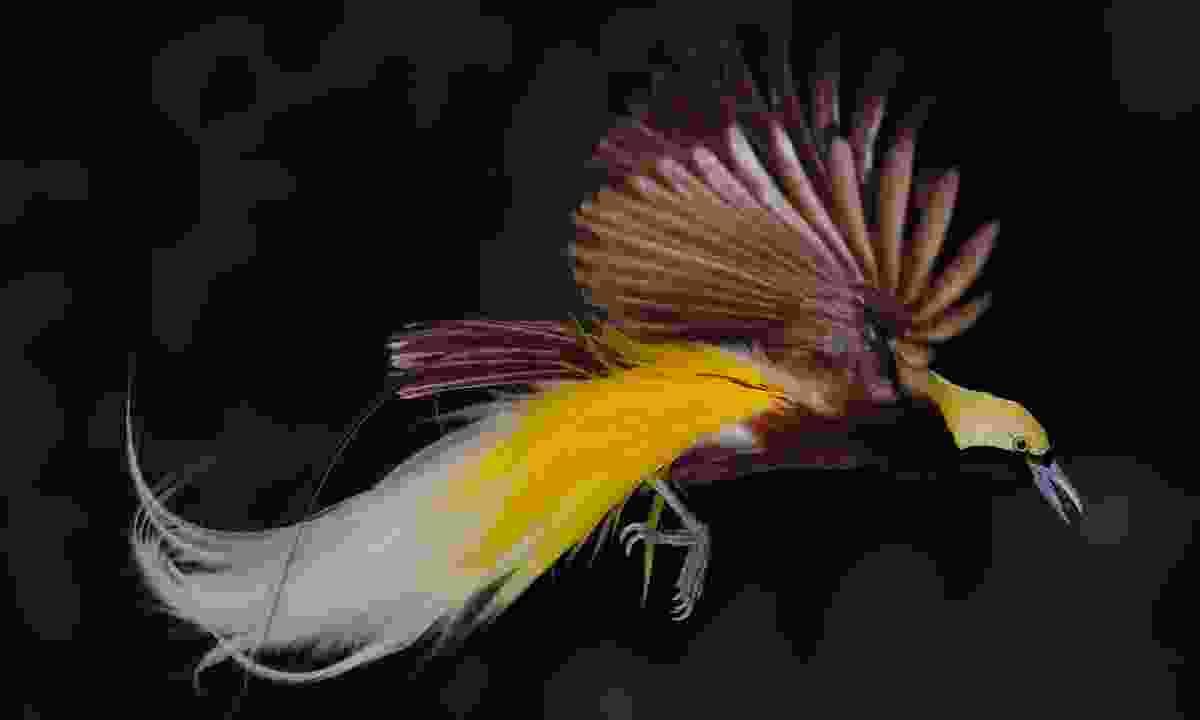 Bird of paradise in flight (Dreamstime)