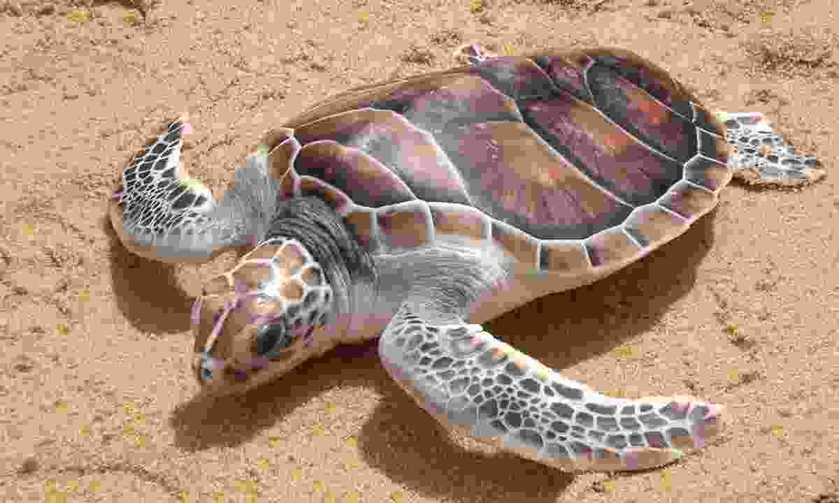 See the incredible sight of turtles laying their eggs (Dreamstime)