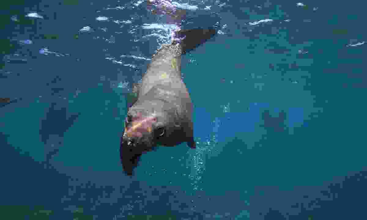 Cape fur seals. (Shutterstock)