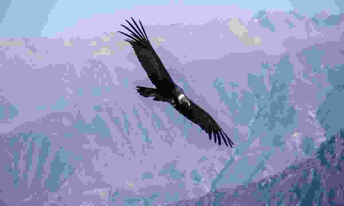 An Andean condor flying above the Colca Canyon (Shutterstock)