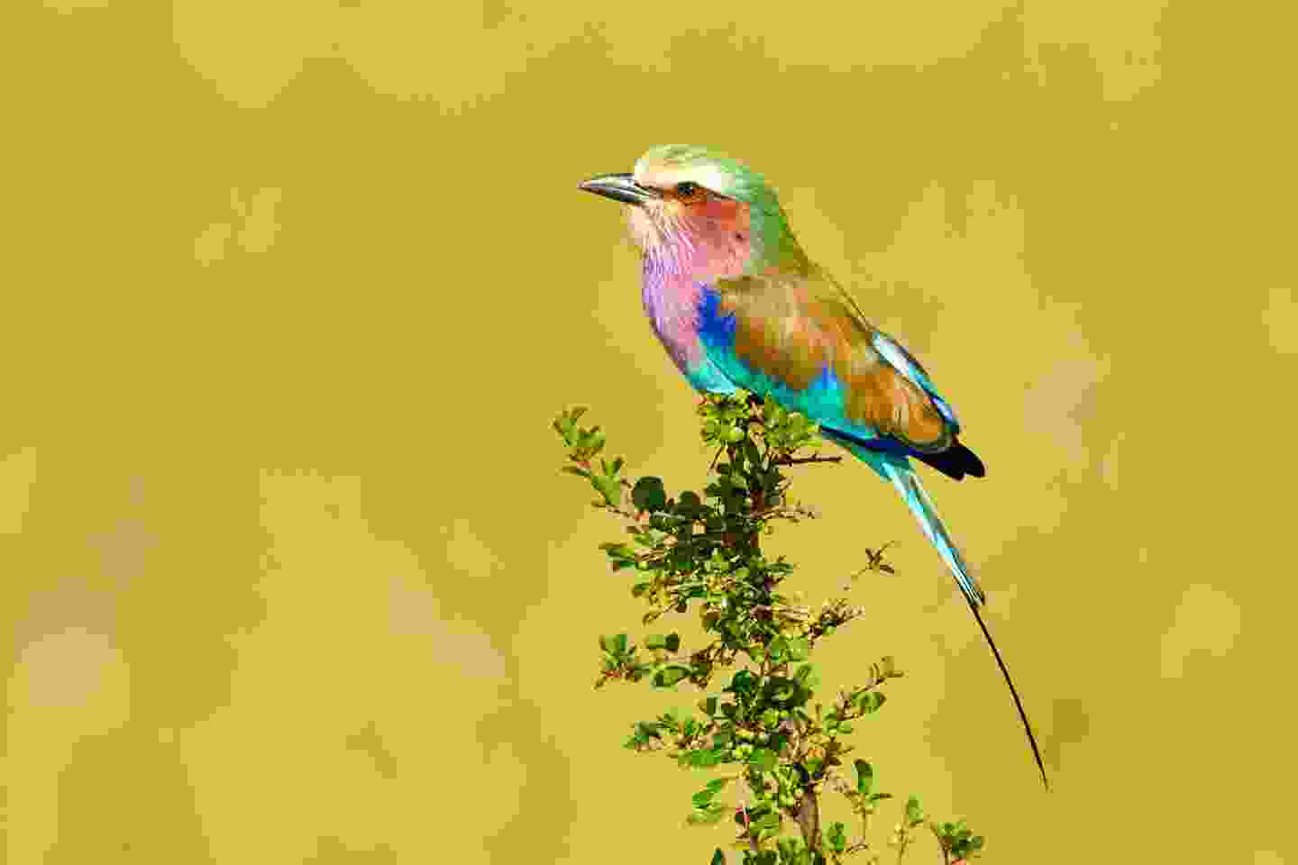 Lilac-breasted roller (Shutterstock)