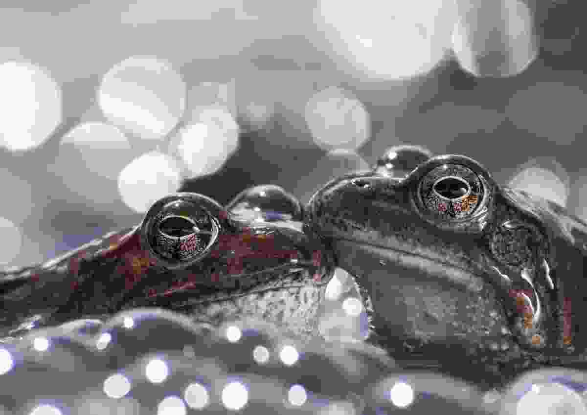 Highly commended: Alpine frogs laying their eggs in springtime (Stefania Urbini)