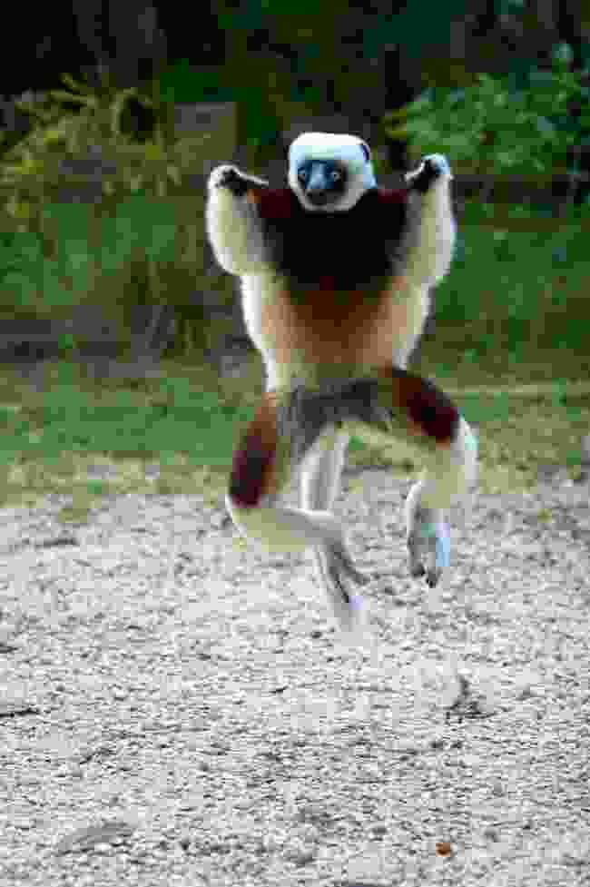 Coquerel's sifaka lemurs have a unique take on the 'lemur dance' (T Steffens)
