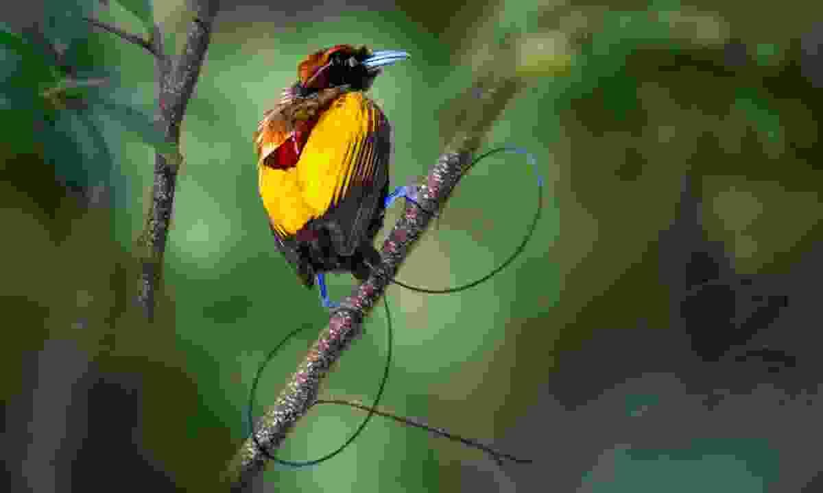 Bird-of-paradise (PNGTPA)