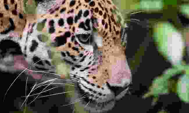 A jaguar in the rain forest of Belize (Shutterstock)