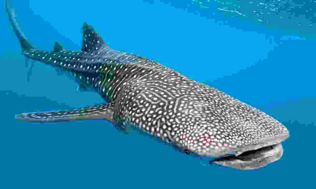 Whale shark. (Dreamstime)