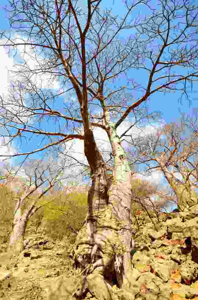 Beautiful baobabs in Wadi Hinna (Phoebe Smith)