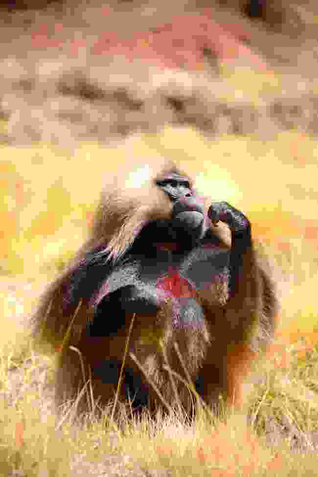Gelada monkey chewing grass in Simien Mountains NP, Ethiopia (Graeme Green)